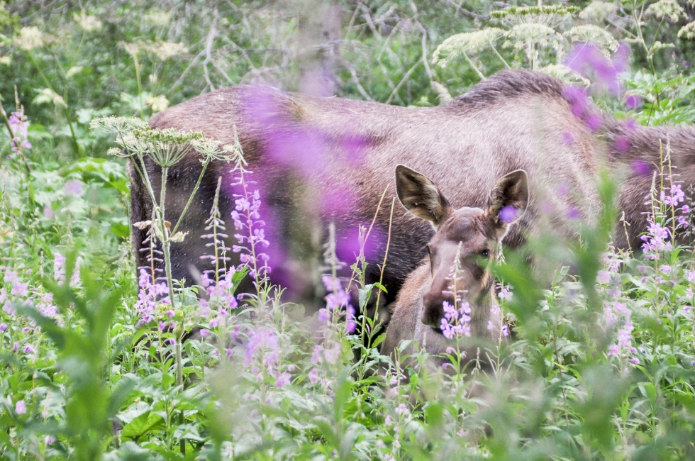 Moose calf and mother in fireweed